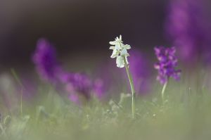 Une orchis bouffon blanche